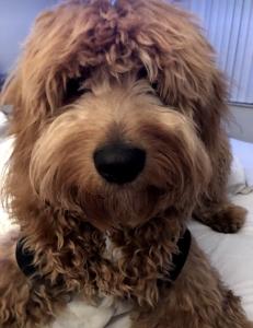 Goldendoodle  Listing Image