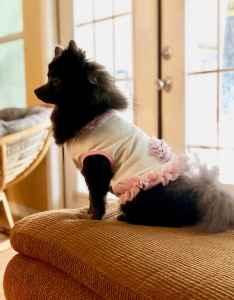 Full Bred Gray Pomeranian Listing Image