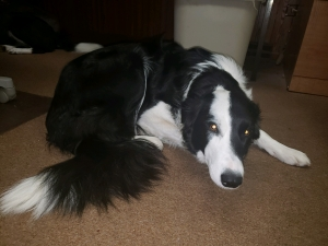 Super Temperament Female Border Collie Listing Image