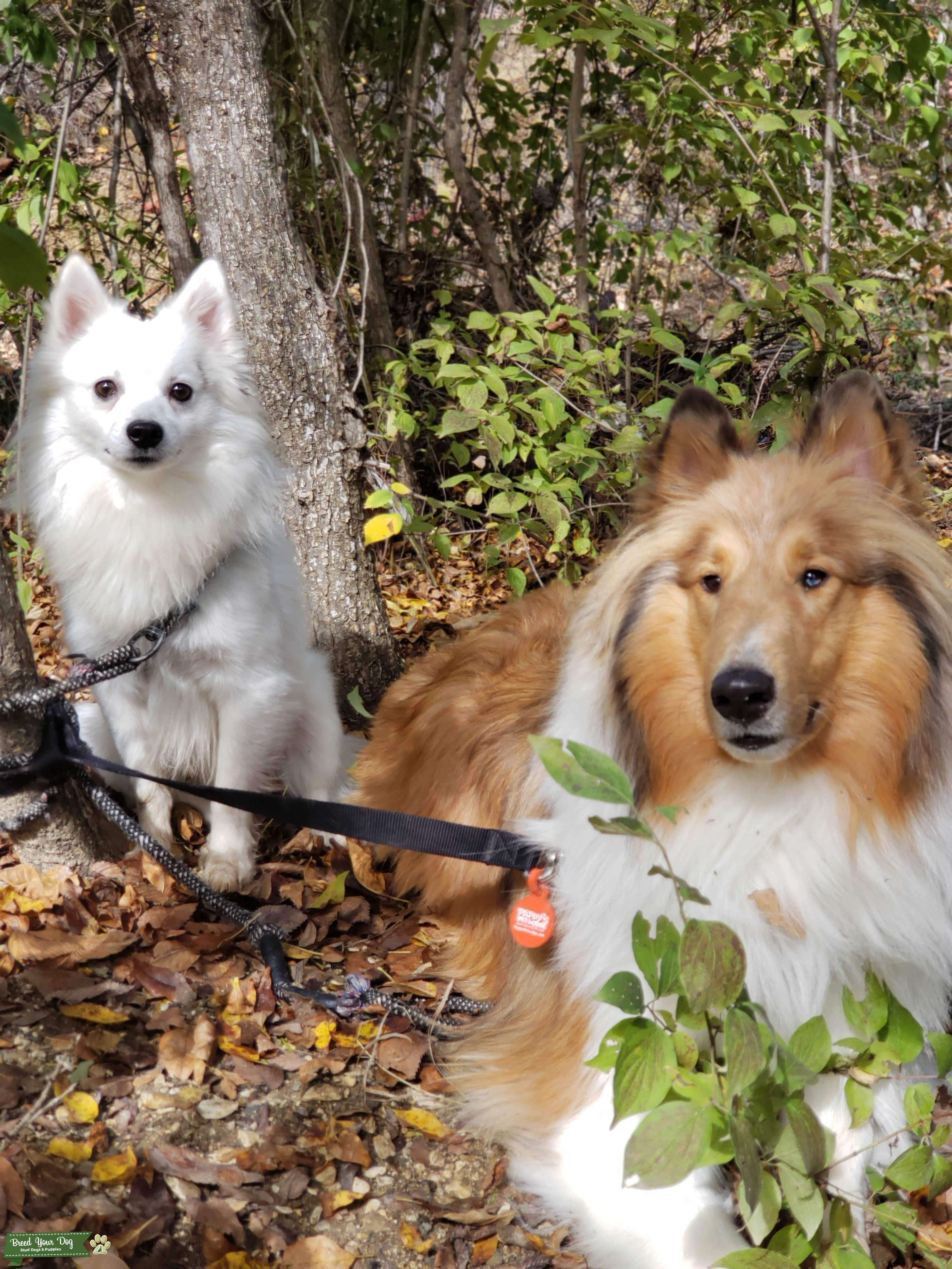 Looking for Female American Eskimo Listing Image Big