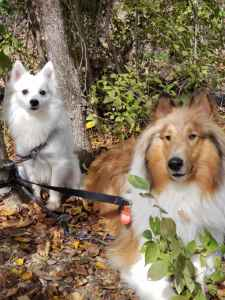 Looking for Female American Eskimo Listing Image