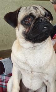 Pug stud Listing Image