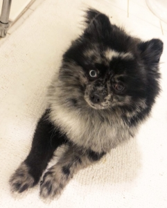 Rare Blue Merle Pomeranian Looking for a mate! Listing Image