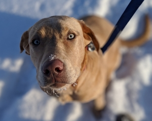 Champagne (Yellow) Lab. Great Demeanor, Great Pedigree. Listing Image