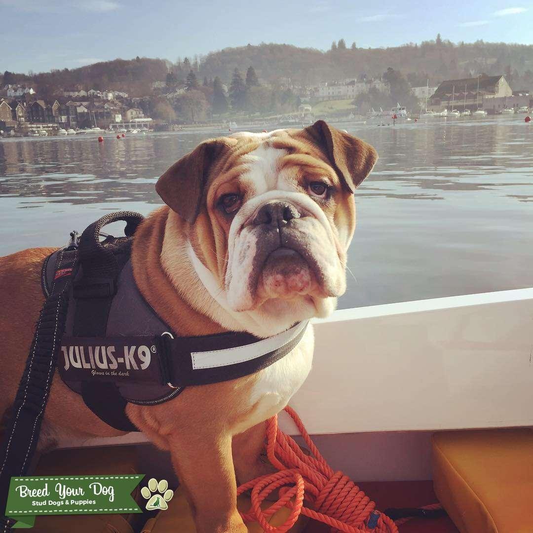 Enhanced pedigree British Bulldog Stud Listing Image Big