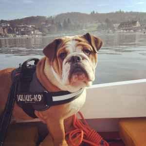 Enhanced pedigree British Bulldog Stud Listing Image