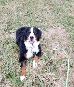 Bernese Mountain Dog in South Jersey Listing Image