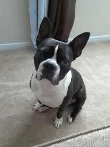 Boston terrier  Listing Image