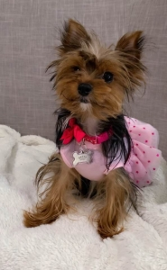 3 color yorkie and weight under 5 pound  Listing Image