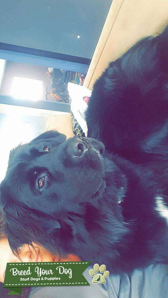 Handsome Newfie Stud looking for a Newfoundland, Wolfdog, or other giant breed  Listing Image Big