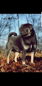 Blue & Tan Pug Listing Image