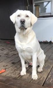 AKC Labrador Retriever Stud Listing Image