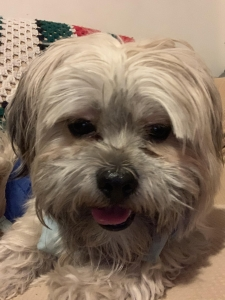 Maltese / Shi Tzu Male Dog Listing Image