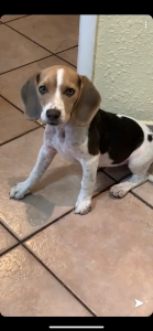 Beagle  Listing Image