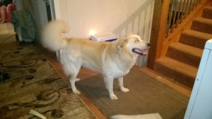 Yellow Male Mixed Breed (Norw Elkhound/Aust Cattledog/Chowchow) Looking to Stud Listing Image