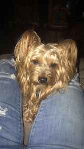 just a yorkie lookin for a girlie Listing Image