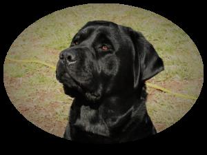 Black English Labrador Listing Image