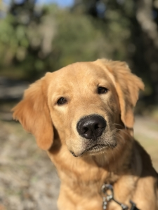 Looking to breed my dog Listing Image