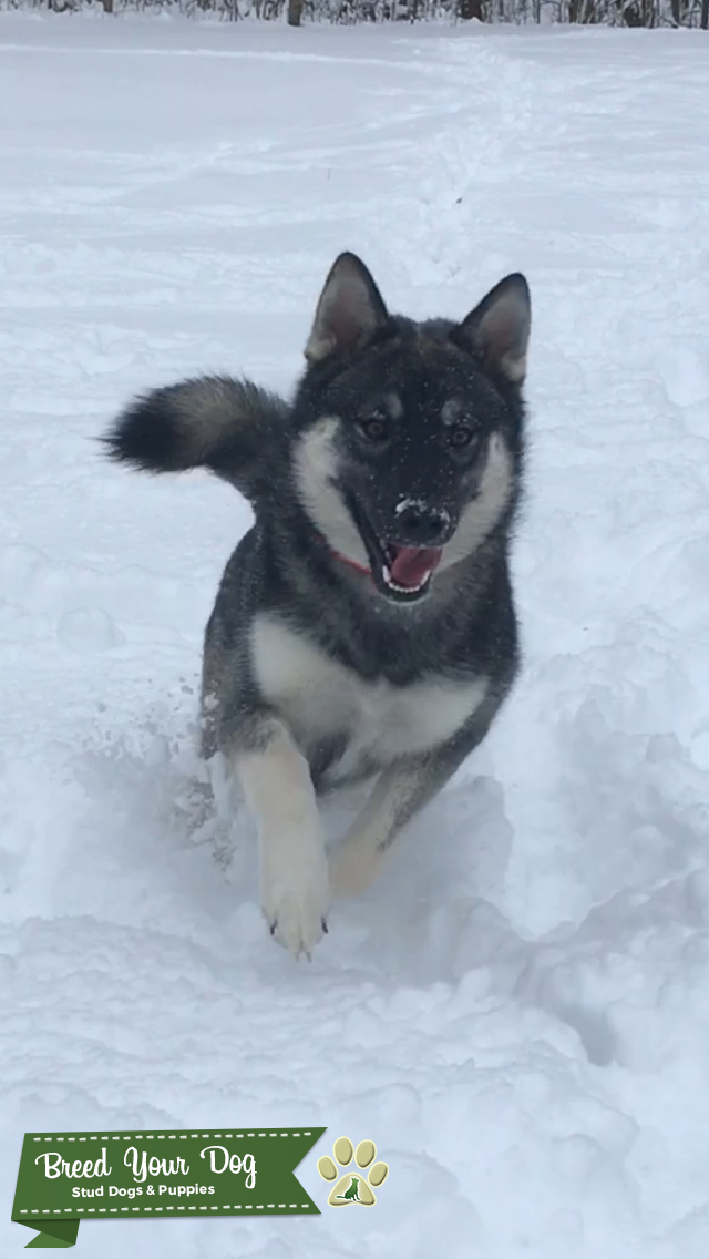 Norwegian Elkhound/Siberian Husky Listing Image Big