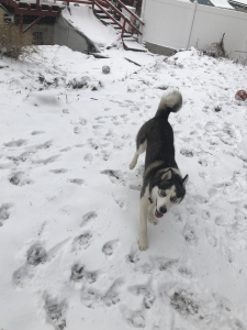 Male Husky Looking To Breed With Female Husky Or Malamute Listing Image Thumbnail
