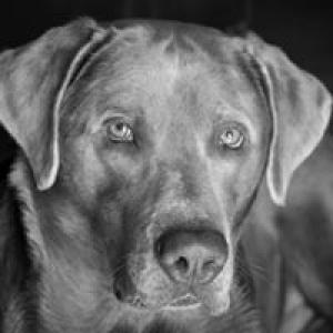 Silver Labrador Retriever Listing Image