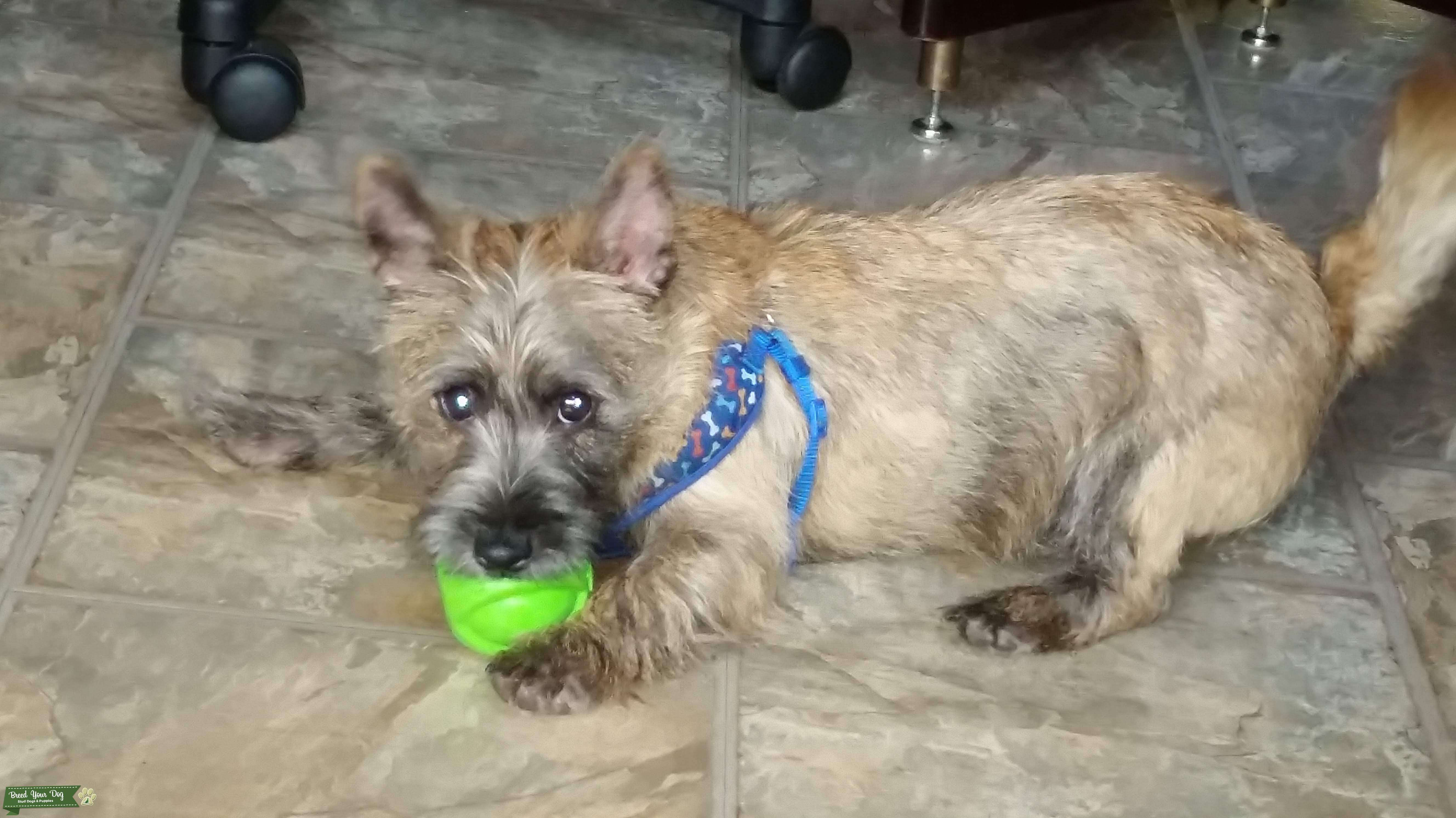 CARIN CARRIN cairn TERRIER TERIER Ozzy playful energetic Listing Image Big