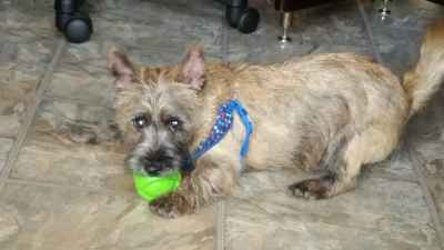 CARIN CARRIN cairn TERRIER TERIER Ozzy playful energetic Listing Image