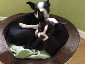 Female Boston Terrier Listing Image