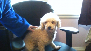 Stud Miniature Poodle Listing Image
