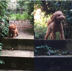 STUD - Red/Apricot Toy Poodle - DNA Pra clear Listing Image