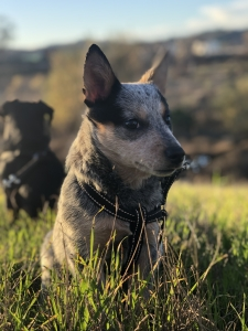 Blue Heeler For Stud Listing Image