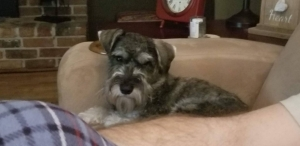 Looking for a mate for Stud salt and pepper Miniature Schnauzer   Listing Image
