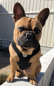 Red Sable French Bulldog  Listing Image