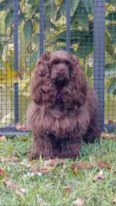 American Cocker Spaniel looking for stud  Listing Image