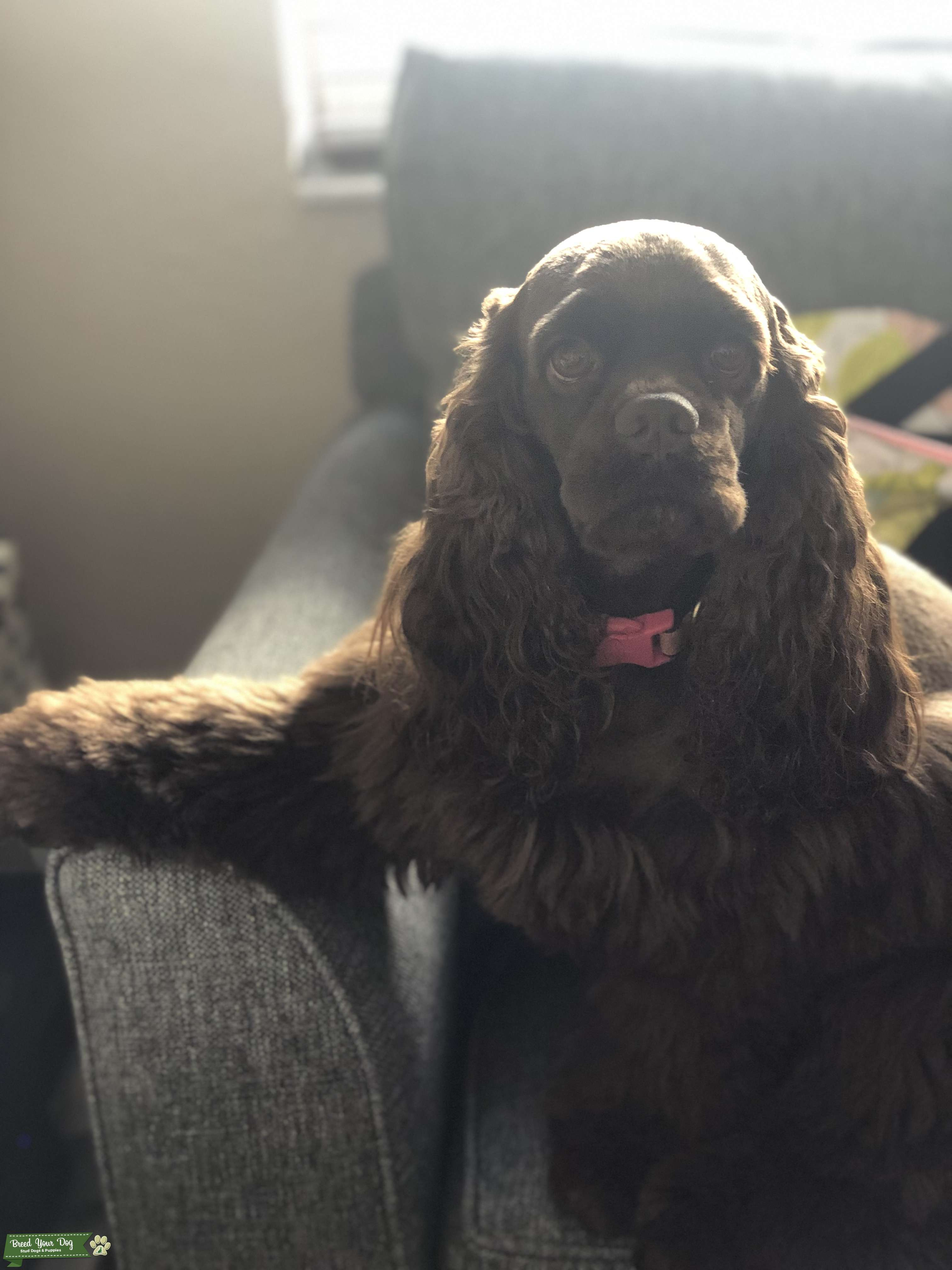 American Cocker Spaniel looking for stud  Listing Image Big