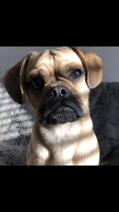 Puggle available for stud Listing Image