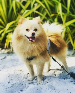 Cream Pomeranian (Male) Listing Image