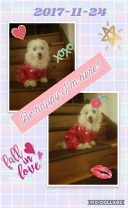 Beautiful Female Maltese ready to mate! Listing Image