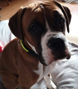 Fawn Boxer Listing Image