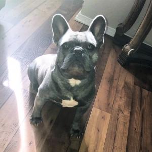 Blue Male French Bulldog  Listing Image
