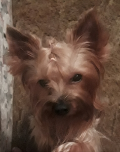 Hungarian Yorkshire terrier  Listing Image
