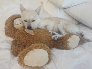 Spitz / Terrier Mix Listing Image