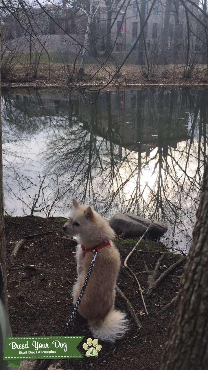Spitz / Terrier Mix Listing Image Big