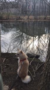 Spitz / Terrier Mix Listing Image Thumbnail