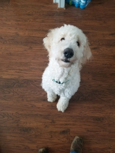 Goldendoodle stud Listing Image Thumbnail