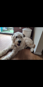 Male golden doodle iso female Listing Image