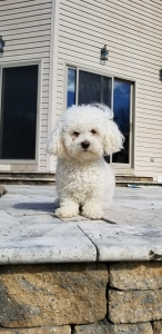 AKC Havanese Stud to Breed Listing Image