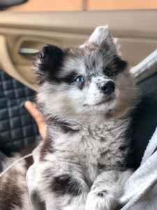 Gorgeous blue eyed merle Pomsky Listing Image