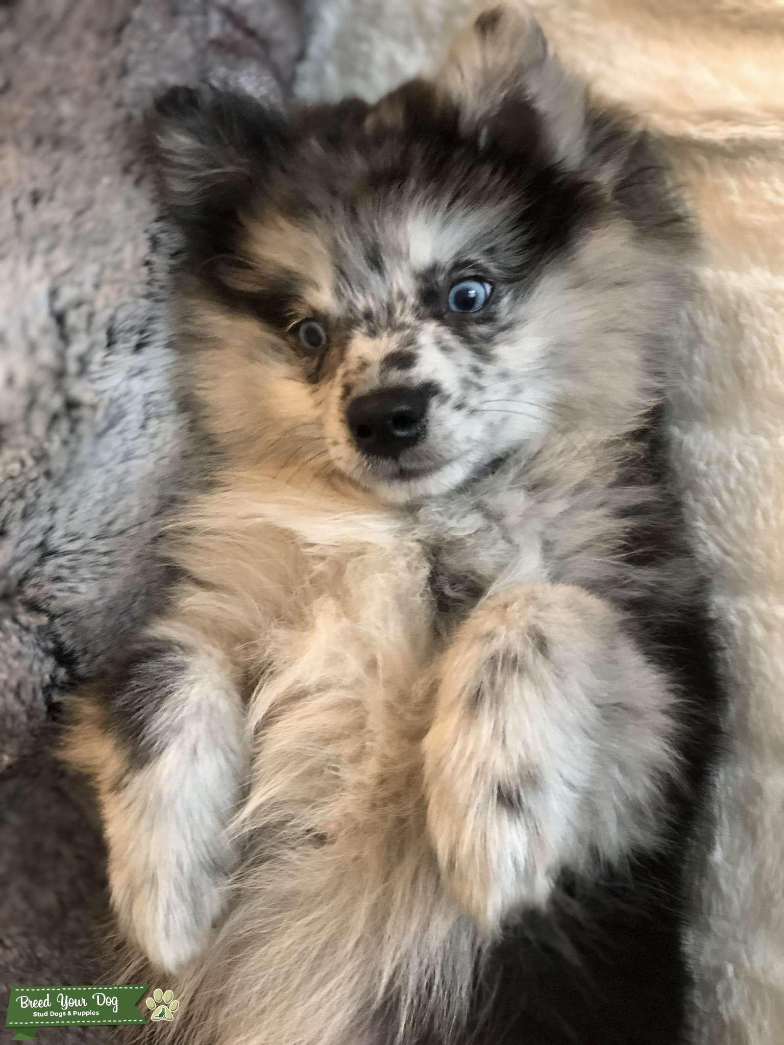 Gorgeous blue eyed merle Pomsky Listing Image Big