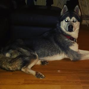 Full Siberian husky  Listing Image